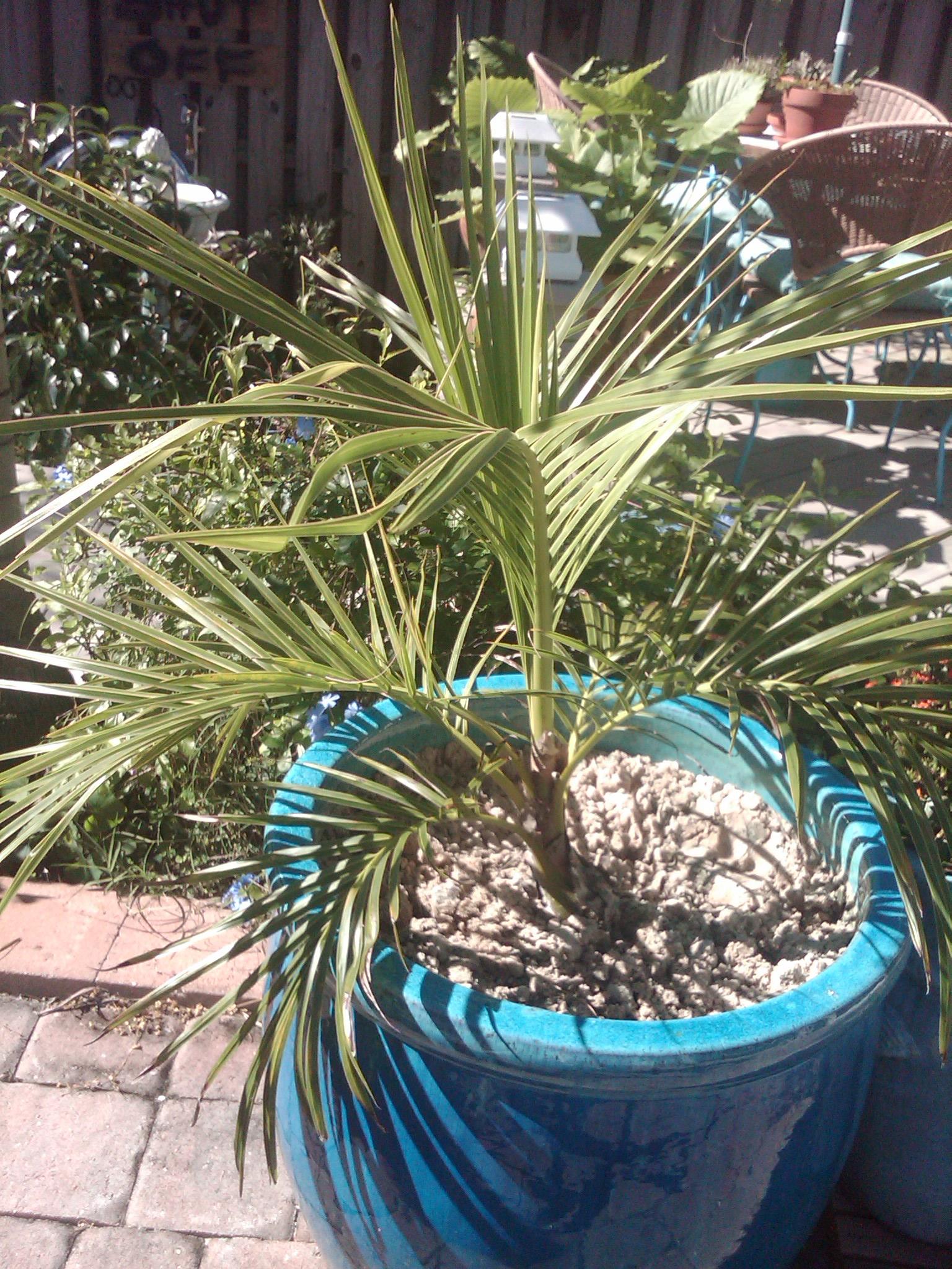 Florida frost gardening tip!