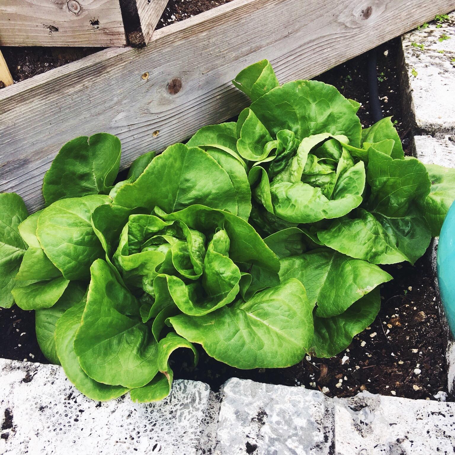 Organic vegetable garden tips
